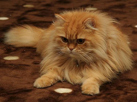 ペルシャ猫・レッドタビーのモグ