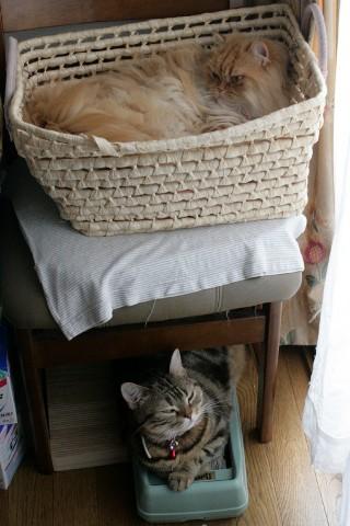 アメショー・ブラウンタビー&ペルシャ猫・レッドタビー