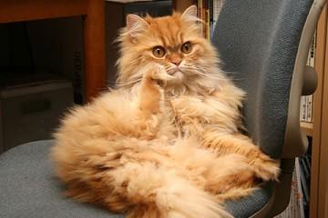 ペルシャ猫・レッドタビー