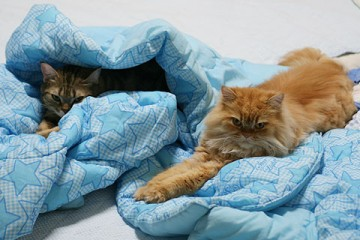 アメリカンショートヘアー・ペルシャ猫