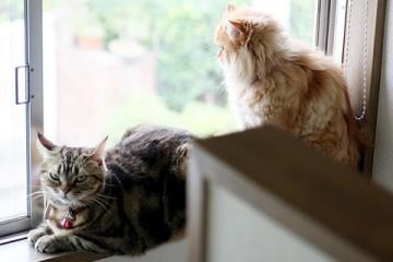 アメリカンショートヘアー・ペルシャ猫(チンチラ)