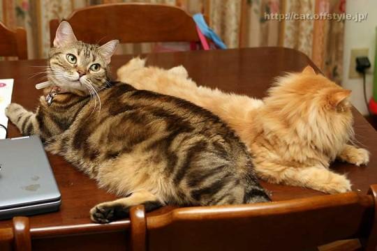 アメリカンショートヘア ペルシャ猫