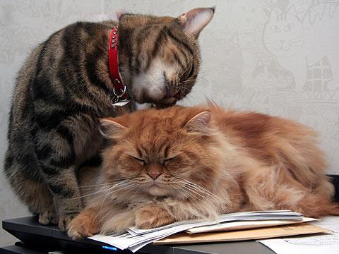 アメショー ペルシャ猫