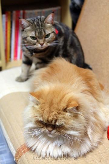 アメリカンショートヘアー ペルシャ猫