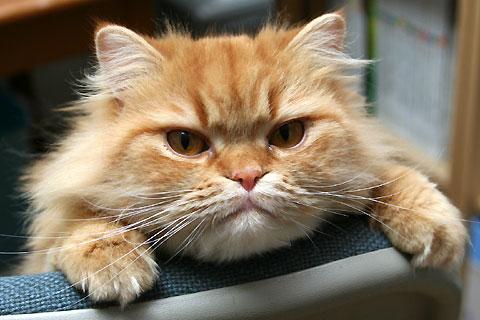 2009年5月15日 「我が家自慢のねこ大集合2 猫ブログコレクション」用のモグ写真