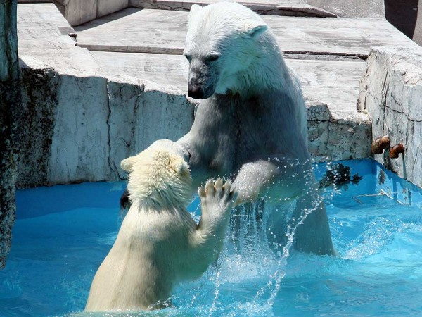 2006年7月4日 クマもじゃれる