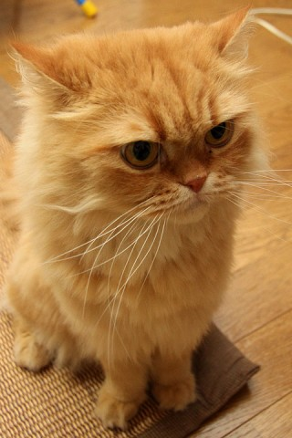 ペルシャ猫レッドタビー