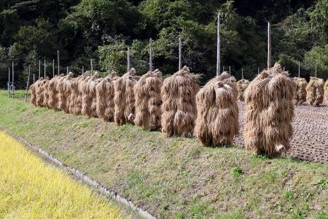 2009年10月13日 稲刈りシーズン