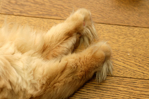 2009年10月1日 ペルシャ猫の足の裏毛