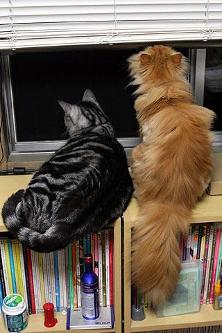 2009年10月7日 アメショーとペルシャ猫の相性