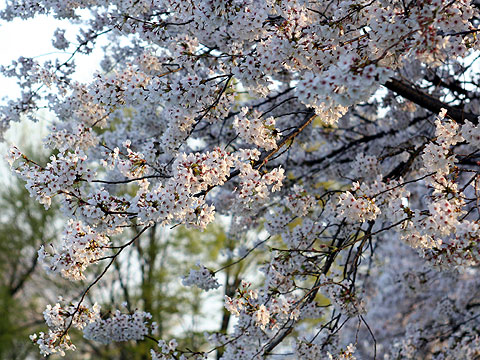 2008年4月6日 夕桜