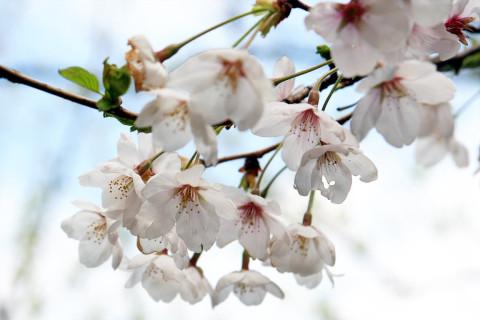 2009年4月6日 庭の桜も満開