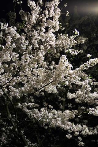 2009年4月7日 夜桜