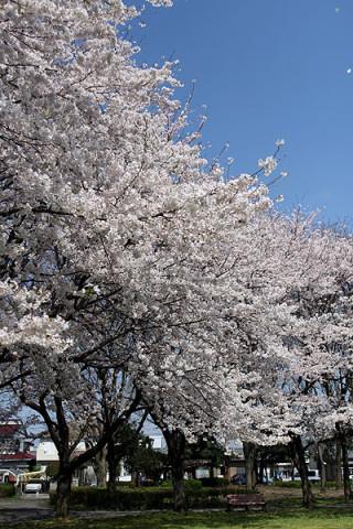 2010年4月8日 近所の公園の桜
