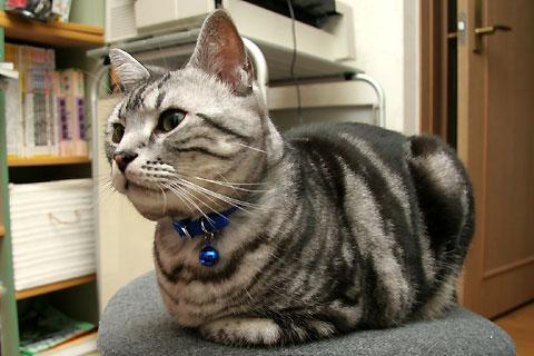 2008年4月15日 「我が家自慢のねこ大集合」用タムの写真候補 その2