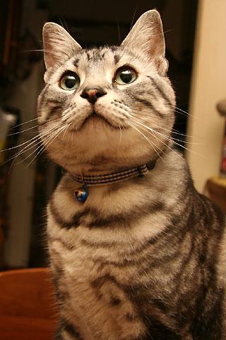 2008年5月14日 「我が家自慢のねこ大集合2 猫ブログコレクション」用タム写真