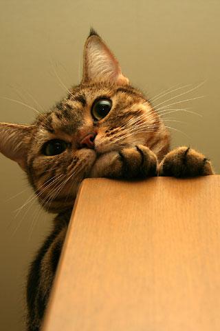 2009年5月15日 「我が家自慢のねこ大集合2 猫ブログコレクション」用のクー写真