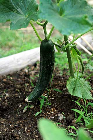 2010年6月16日 明日の朝収穫