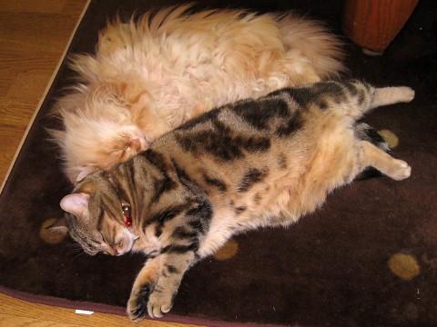 アメリカンショートヘアー・ブラウンタビー&ペルシャ猫・レッドタビー